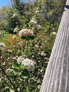 Viburnum Mayflower Carlesii 3c